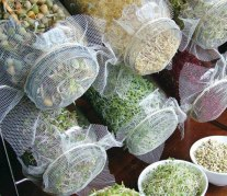 sprouts in jars